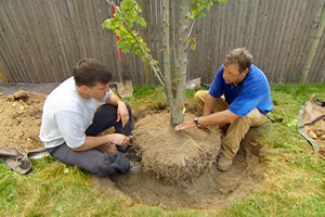 Roger Cook helps a homeowner select and plant a deciduous shade tree