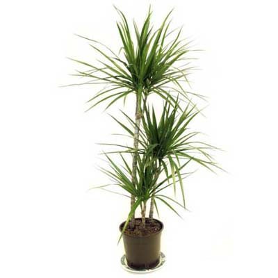 Madagascar Dragon Tree Dracaena Marginata Easy