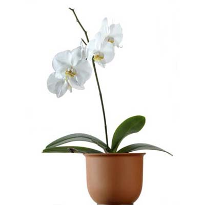 moth orchid house plant with delicate, wing-like flowers
