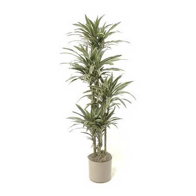 striped, slow-growing warneck dragon tree houseplant